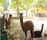 فيديو| «الباقة».. وجه جديد في «حديقة الحيوان» بالجيزة