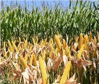 «الزراعة» تصدر توصيات بشأن محصول الذرة الشامية خلال اغسطس