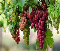 نصائح من «الزراعة» للتعامل مع محصول العنب خلال أغسطس وسبتمبر