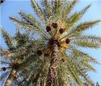 4 نصائح من «الزراعة» للتعامل مع أشجار النخيل خلال أغسطس