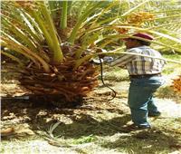 صور| الزراعة: حصاد حملة مكافحة سوسة النخيل في الواحات والوادي الجديد