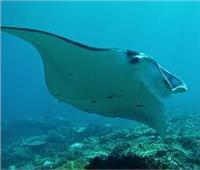 «شيطان البحر الطائر» تخرج للسياح على أحد شواطيء الغردقة