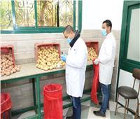 صور..«الزراعة»: فحص ٦٤ ألف طن تقاوي بطاطس من العفن البني