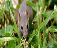ألمانيا تخسر الكثير من المحاصيل الزراعية بسبب «الفئران»