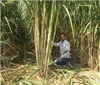«الزراعة» تصدر 5 توصيات لمحصول قصب السكر يجب مراعاتها خلال شهر سبتمبر