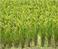 كيف يتعامل الفلاح مع محصول الأرز خلال شهر سبتمبر؟.. الزراعة تجيب
