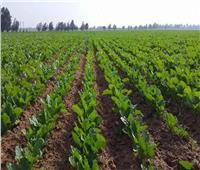 روشتة نصائح من «الزراعة» لمحصول بنجر السكر.. تعرف عليها
