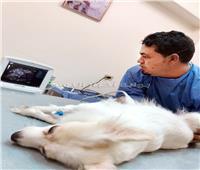 طبيب مصري ينقذ كلبة من الموت بـ«ولادة قيصرية»