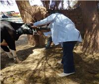 «بيطري الوادي الجديد»: تحصين 40 ألف رأس ماشية ضد الجلد العقدي