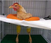 «دجاجة» تخضع لعملية جراحية بـ7 آلاف جنيه.. وبيطري البحر الأحمر: تمت في عيادة خاصة برغبة مالكها