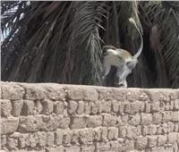 تداول صور لـ«قرود» في قرية بقنا.. ومسؤول: «مش لاقينها»