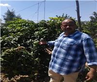 صور| «المانجو» تودع عشاقها.. 113 ألف فدان بالإسماعيلية والأسعار «في متناول الجميع»