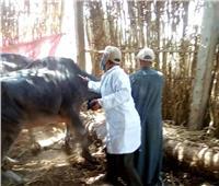 تحصين أكثر من نصف مليون رأس ماشية ضد الحمي القلاعية والوادي المتصدع في 3 أيام