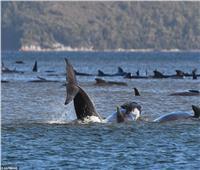 شاهد| انتشار خبراء البيئة على شواطئ أستراليا لإنقاذ الحيتان الطائرة