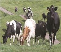 الأبقار تثير جدلاً بإنجلترا
