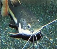الطب البيطري بالقاهرة يكشف حقيقة خطورة تناول سمك القراميط