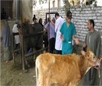 استمرار حملة تحصين الماشية ضد الحمى القلاعية والوادى المتصدع بمطروح