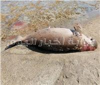 خاص  «البيئة» وفاة عروس بحر مرسى علم طبيعية
