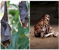 حكايات| «قيلولة الزرافة واستغراق الخفاش» .. ما مدة وطريقة نوم الحيوانات؟