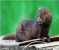 الدنمارك تعتزم إعدام مليون حيوان «منك» بسبب كورونا