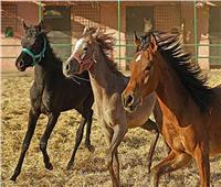 دماء الأحصنة.. هل تكون أمل البشر أمام كورونا؟