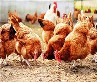 مطبخك| تعرفي على الفرق بين الدجاج البلدي والأبيض