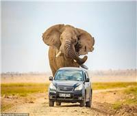 صور تحبس الأنفاس.. فيل عملاق يطارد سيارة محاولا دهسها