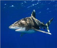 """فيديو  بعد إصابة 3 أشخاص.. الغواصون يلاحقون """"القرش المرعب"""" فى شرم الشيخ"""
