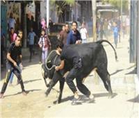 «ثور هائج» يثير الرعب في شوارع القاهرة