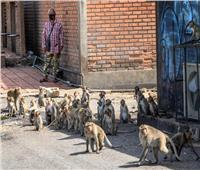 فيديو  بالآلاف.. القردة تحتل مدينة هندية وتسرق السياح