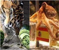 من الأخطبوط إلى النمر.. تنبؤات الحيوانات بين كأس العالم والرئاسة الأمريكية