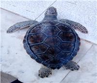 إنقاذ سلحفاة بحرية مهددة بالانقراض وإعادتها لبيئتها الطبيعية
