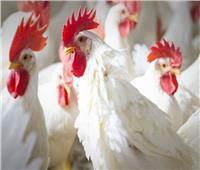 احذر.. 4 أجزاء من الدجاج بها سم قاتل