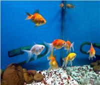 فيديو | تعرف على فائدة أسماك الزينة للأطفال