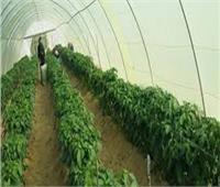الزراعة: الصوب الزراعية تساعد في ضبط الأسعار| فيديو