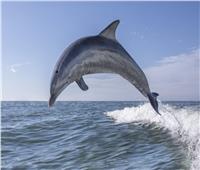 دراسة: «الدولفين» يبطئ نبضات قلبه ويحبس أنفاسه لمدة طويلة
