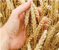 «الزراعة»: 6 توصيات لتعظيم إنتاجية محصول القمح خلال ديسمبر