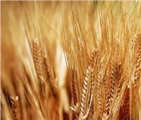 استعدادات مبكرة لزراعة القمح والشعير والمحاصيل الشتوية بشمال سيناء