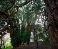 بريطانيا.. واحدة من أقدم الأشجار غيرت جنسها