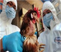 كوريا الجنوبية تغلق مزارع الدواجن بعد رصد «إنفلوانزا الطيور»