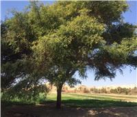 حكايات| «اللبخة» للخُلد و«الجميزة» للتوابيت.. أشجار المصريين «من الجنة»