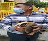 توزيع 720 بطة على 36 سيدة بقرية «افلاقة» في البحيرة..صور