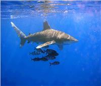 لمواجهة هجوم القرش.. أستاذ بيئة بحرية: نحتاج برنامجا متكاملا لمواقع الغوص
