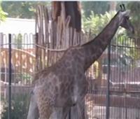 فيديو| حديقة حيوان الجيزة تنتهي من بيت الزرافات الجديد