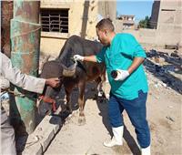 الزراعة: تحصين أكثر من 4 آلاف رأس ماشية مجانًا بقنا
