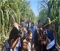 «الزراعة»: لجنة لتقييم أصناف قصب السكر لإكثار الأصناف عالية الإنتاجية