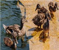 عودة أنفلونزا الطيور... ارتفاع معدل نفوق البط في مزرعة بفرنسا