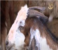 الإمارات توافق على استيراد الماشية الحية من مصر