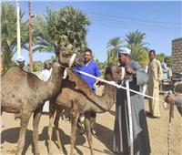 «الزراعة» تفحص وتعالج 3500 رأس ماشية مجانا في أسوان.. صور