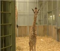 خبر سار لـ «سوسن».. حديقة الحيوان تستقبل 3 زرافات جديدة | فيديو